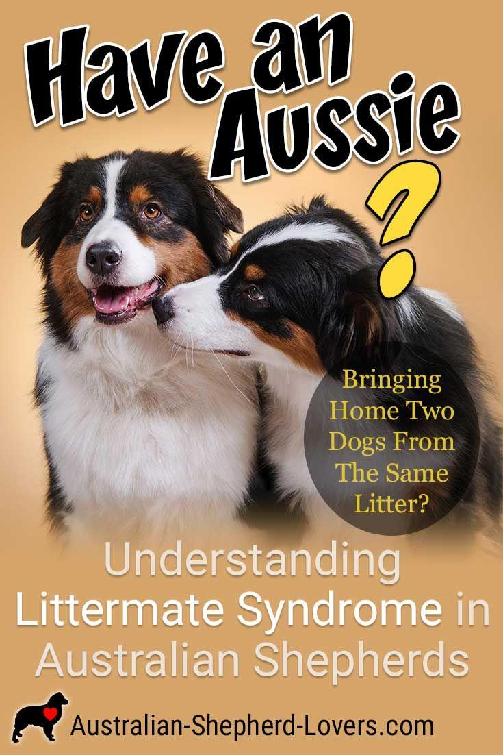 Understanding Littermate Syndrome In Australian Shepherds Australian Shepherd Dogs Australian Shepherd Aussie Puppies