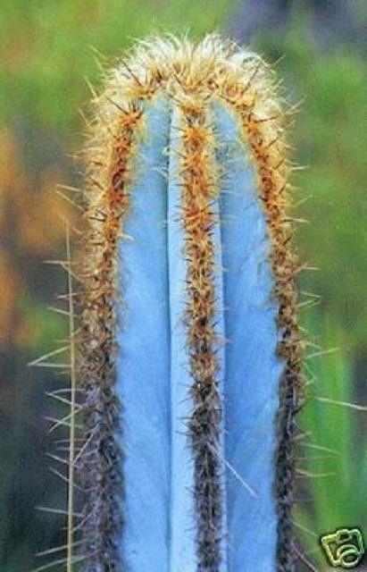 Pilosocereus purpureus @J@ exotic color columnar rare cacti cactus seed 10 SEEDS