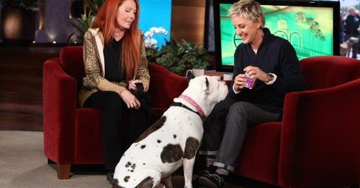 Rescue Pit Bull Steals Ellen's Show! He Wins Over The Entire Audience!