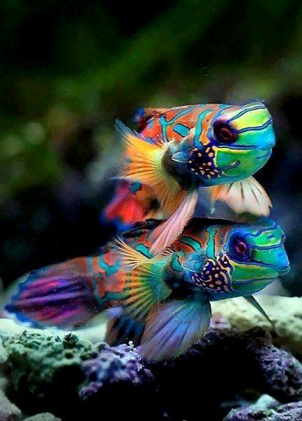 mandarin dragonets | marine animal + underwater photography