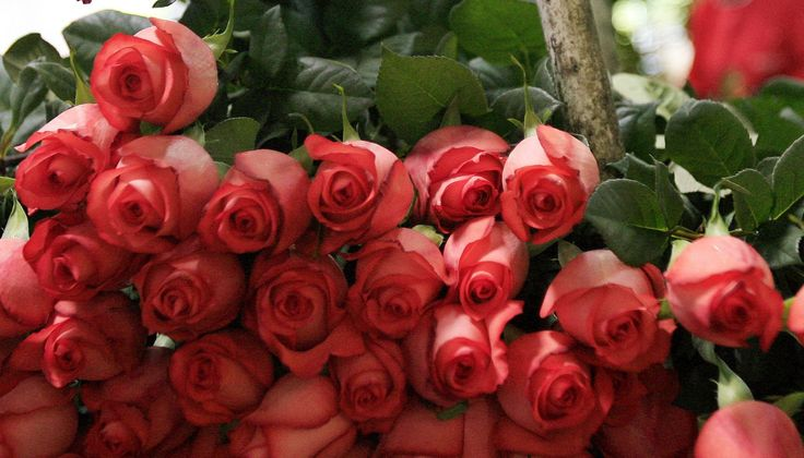 10.000 rosas ecuatorianas engalanarán la edición de los Globos de Oro (VÍDEO)