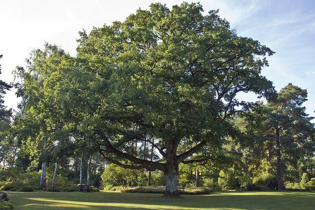 Quercus petraea - Chêne rouvre (200 ans) - Pierre J. / flickr.com