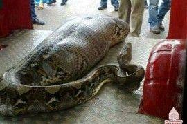 Anaconda engole pescador no rio madeira