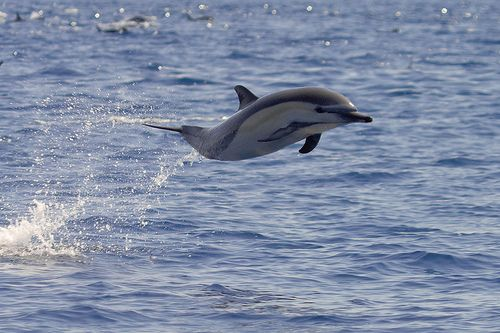 Common Dolphin, Baja California, Mexico.