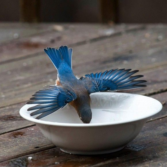 A bluebird takes a drink. EarthSky Facebook friend Janet Furlong posted this photo on January 27, 2015.