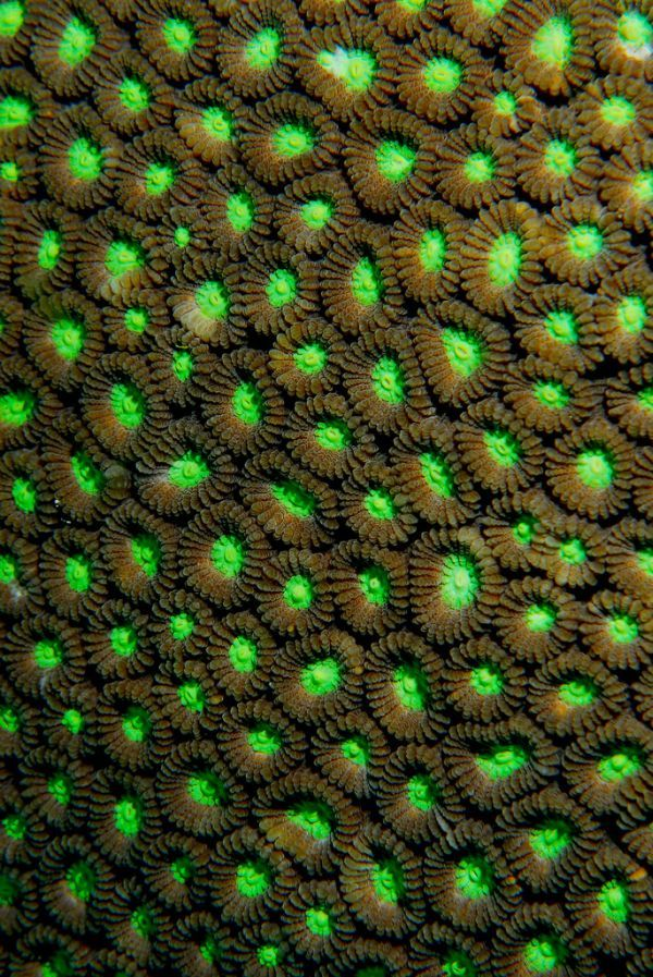 Chartreuse Coral