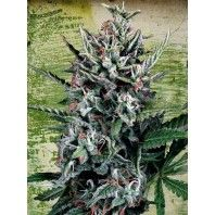 Ministry of Cannabis is a cannabis seedbank specialized in feminized and autoflowering seeds.