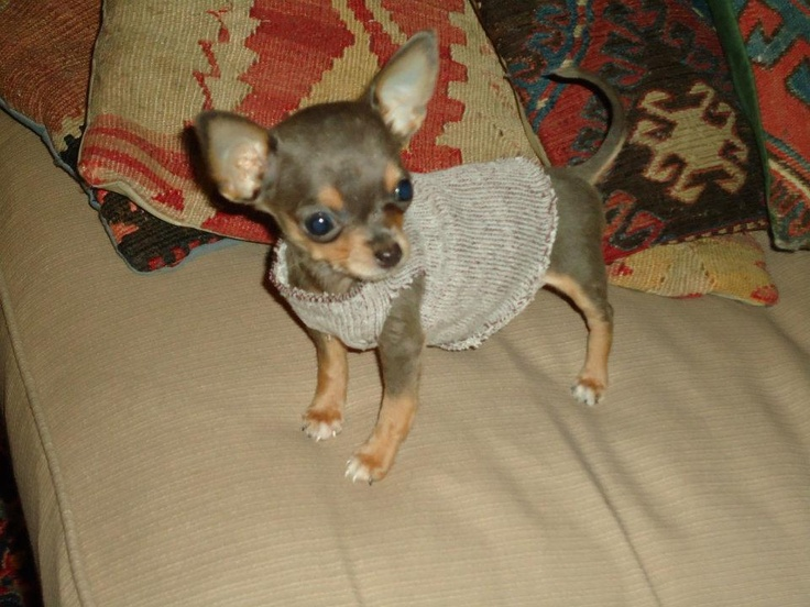 sock sweater chihuahua lovin pinterest chihuahuas sock and sweaters. Black Bedroom Furniture Sets. Home Design Ideas
