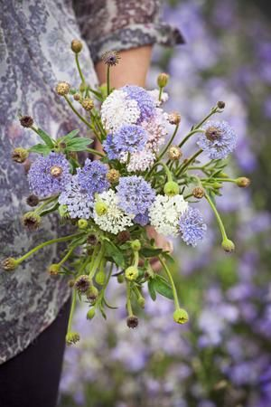 11 best dahlias images on pinterest dahlia dahlias and dahlia flower didiscus lace flower mix mightylinksfo Gallery