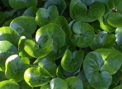 Katarinas Penna&Spade: Marktäckande växter för halvskugga till skugga