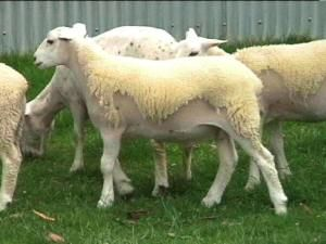Wiltshire sheep shedding fleece