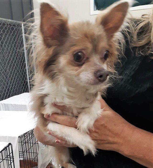 Is This Your Dog St Cloud Chihuahua Long Haired Male Date Found 07 23 2019 Breed Of Dog Chihuahua Long Haired Gender Male Closest Int Losing A Dog Dogs