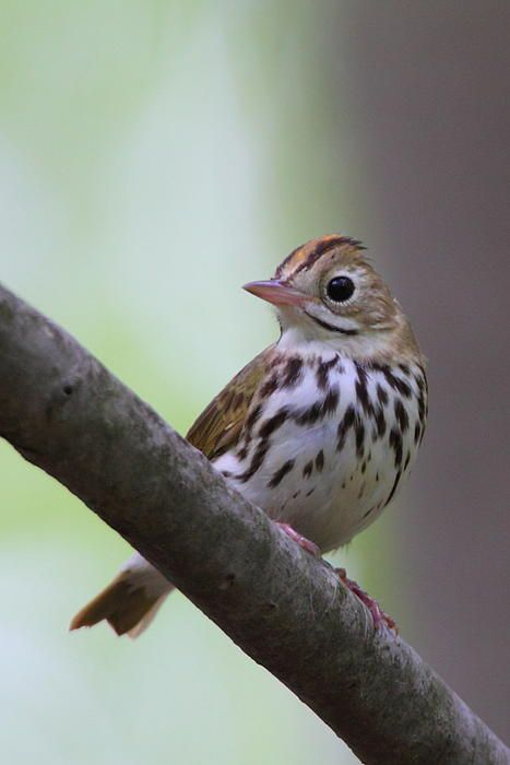 The Ovenbird (Seiurus aurocapilla) is a small songbird of the New World warbler family (Parulidae). This migratory bird breeds in eastern North America and winters in Central America, many Caribbean Islands, Florida, and northern Venezuela.[