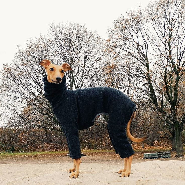 I literally just go to the park to see what the other dogs are wearing. #iggyjoey