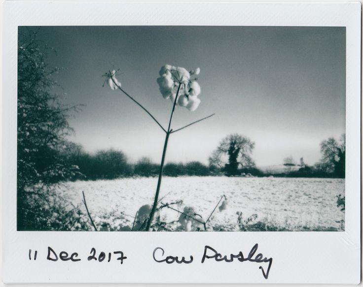 https://flic.kr/p/213HUAP | Cow Parsley | Instax wide monochrome