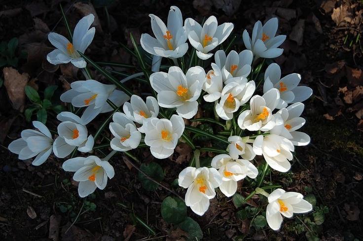 #crocus #promessedefleurs #fleur #jardin #blanc #white #flower #garden