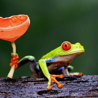 What a moment -  a colorful frog holding tightly onto a bright orange mushroom.