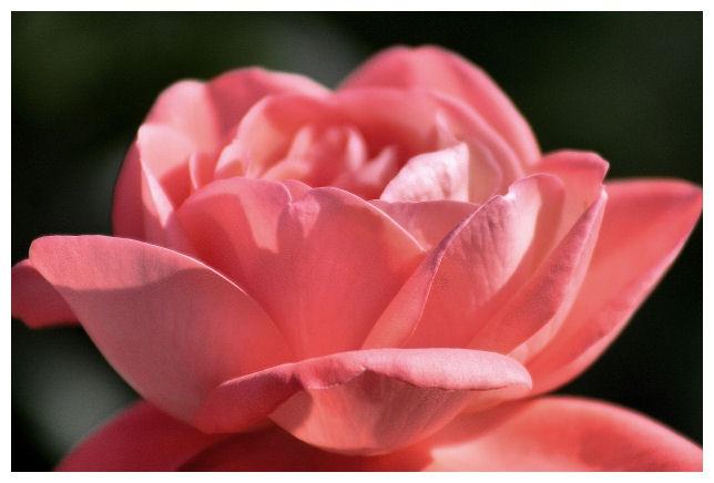 Beautiful Color:) Sonia Rose