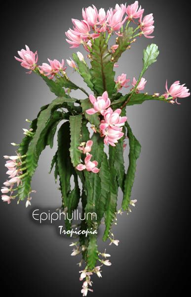 Cactus Amp Succulent Epiphyllum Orchid Cactus Plants