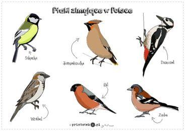 Ptaki zimujące w Polsce - plakat - Printoteka.pl