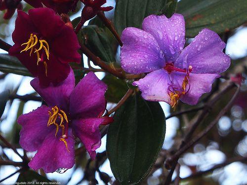 Flor de siete cueros. Sonson Antioquia Colombia