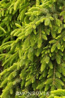 http://www.monrovia.com/plant-catalog/plants/3138/bruns-Bruns Weeping Serbian Spruceweeping-serbian-spruce/