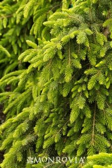 Hosta Christmas Tree
