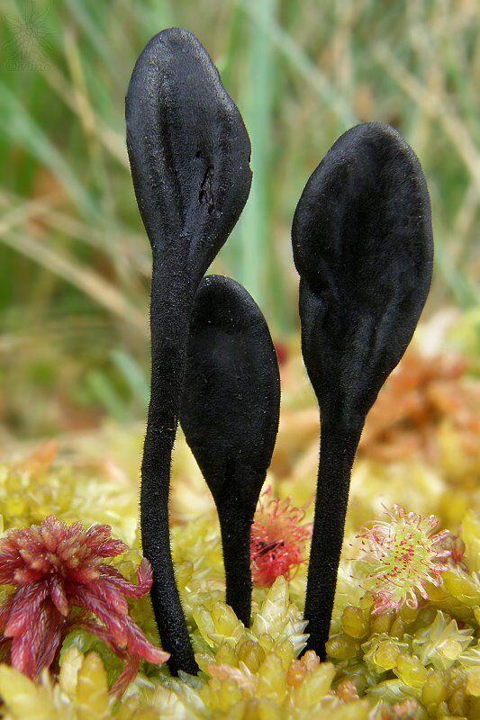 Trichoglossum hirsutum Negro Tierra-lenguas