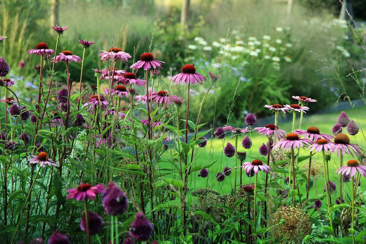 Landelijke tuin met rijk bloeiende border van vaste planten en siergrassen. De roze bloemen zijn rode zonnehoeden ...