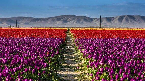 Тюльпановые поля, Коня Турция www.russkiygidvstambule.com