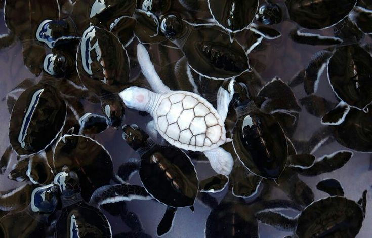 Ahh cute albino turtle