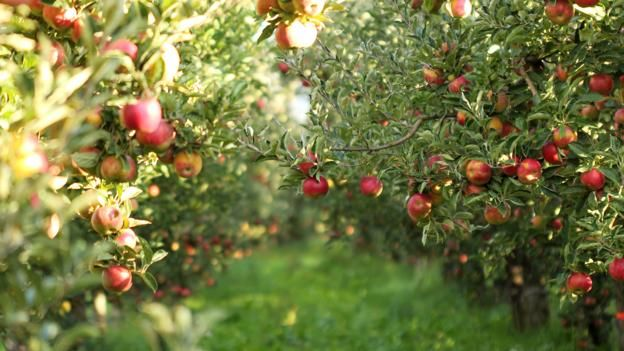 How farmers put apples into amination