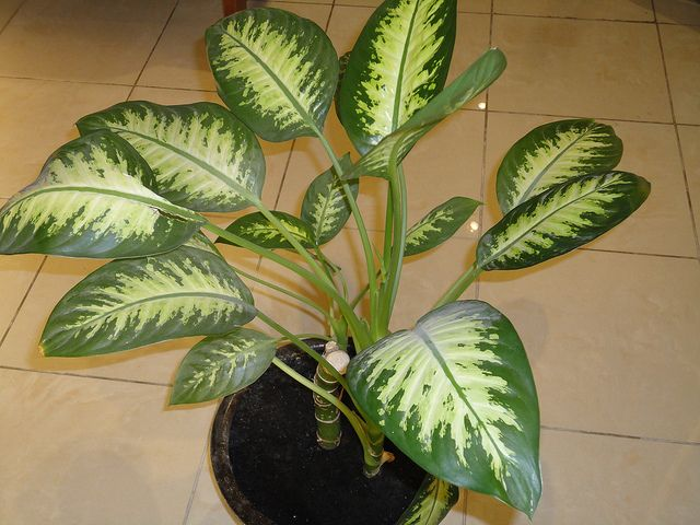 Amoena planta venenosa