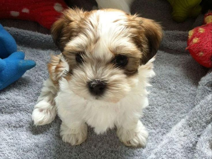Havanese for sale in Monroe, CT by Lucia Brown on American