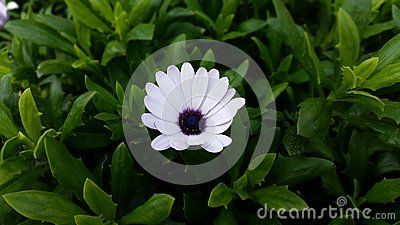 Bellis perennis, commonly called common daisy is a herbaceous plant widely used for decorative purposes mixed with the lawn, for its resistance to mowing.    Source: Wikipedia