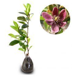 Magnolia Figo Purple Rp 850,000