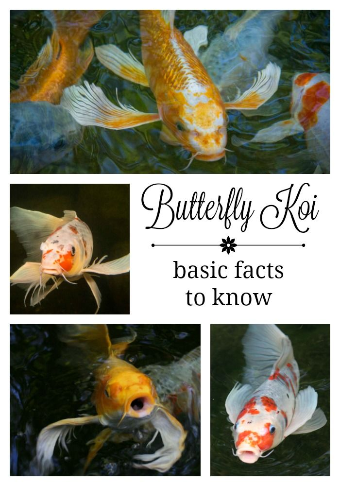 Butterfly Koi - Basic Facts to Know