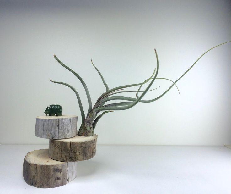 Tillandsoa baileyi air plant on drift wood and a bear jade.