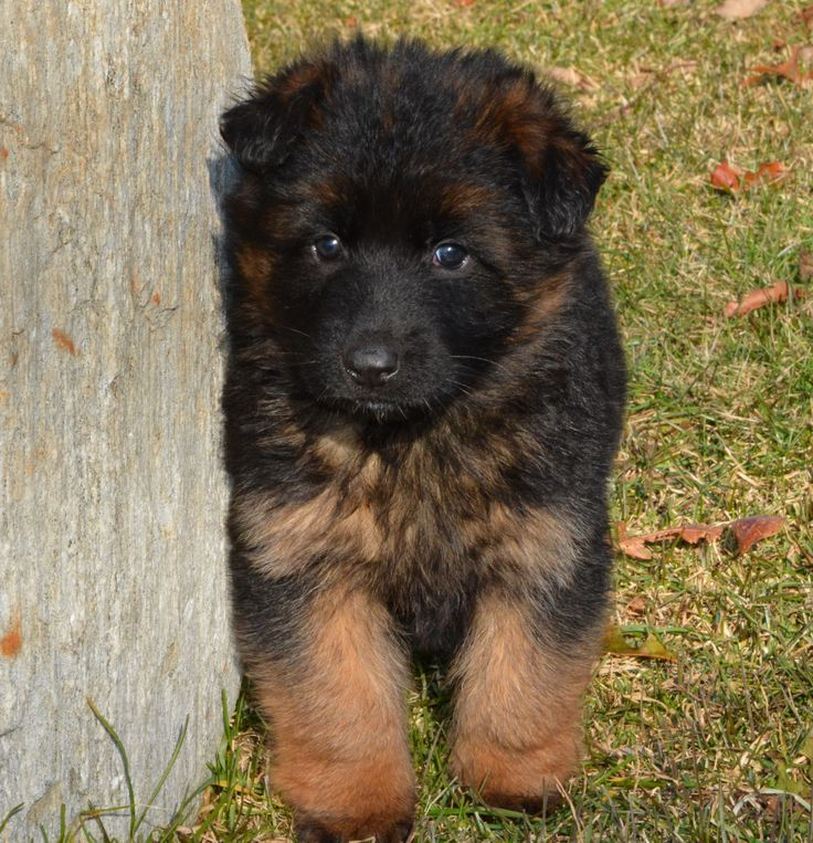 5 Week Old Female Puppy By Grunwald Haus German Shepherd Puppies