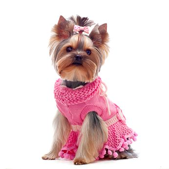 Dog Pictures – Yorkshire | An adorable member of the toy dog group, the Yorkshire Terrier is a mixture of England's finest terriers, made up of the Clydesdale terrier, English black and tan terrier, waterside terrier, and the Paisley terrier.
