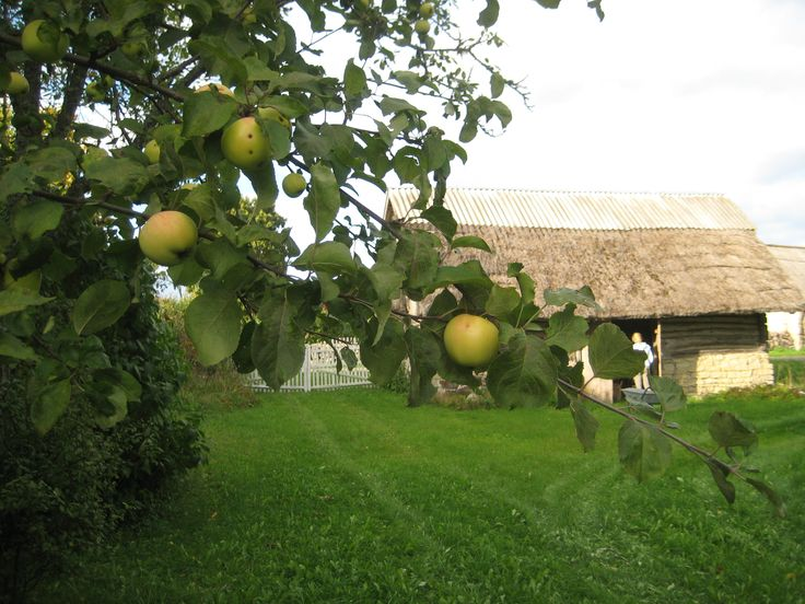 Apples are ripe in September but you need your own apple factory to process all of them (which we don't have!)