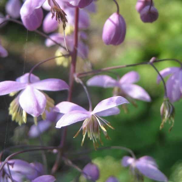 Violfrøstjerne, violet <br><i>Thalictrum delavayi</i>
