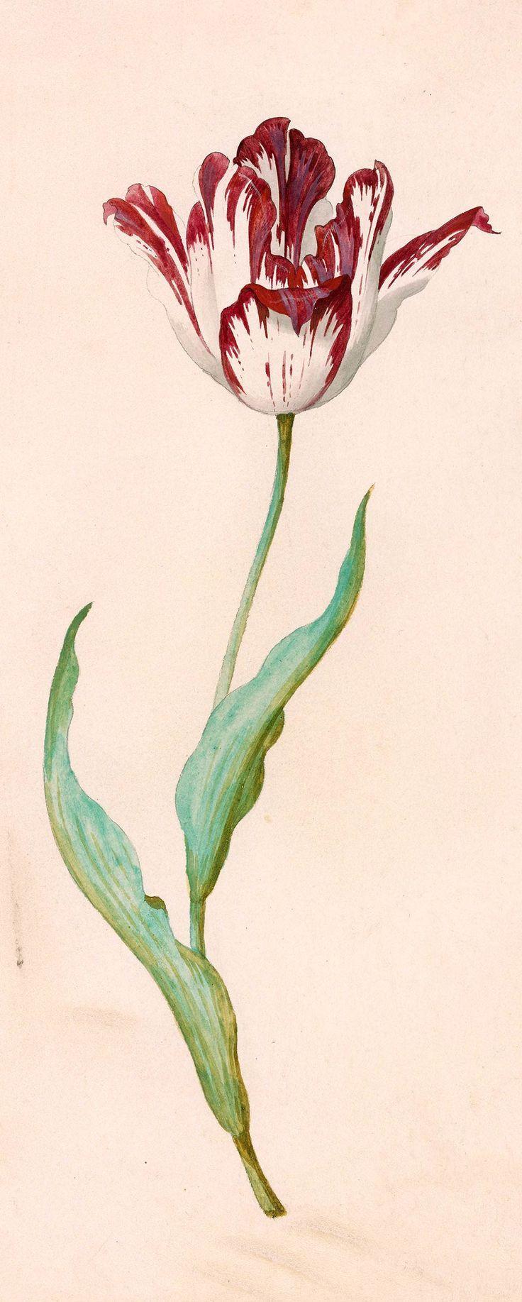 Jacob Marrel | 1613 oder 14-1681 | Tulpe mit zwei blättern | Der Morgan