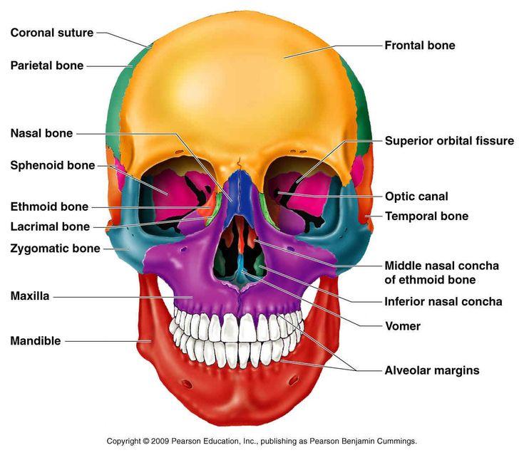 226 best bones, beautiful bones images on pinterest, Human Body