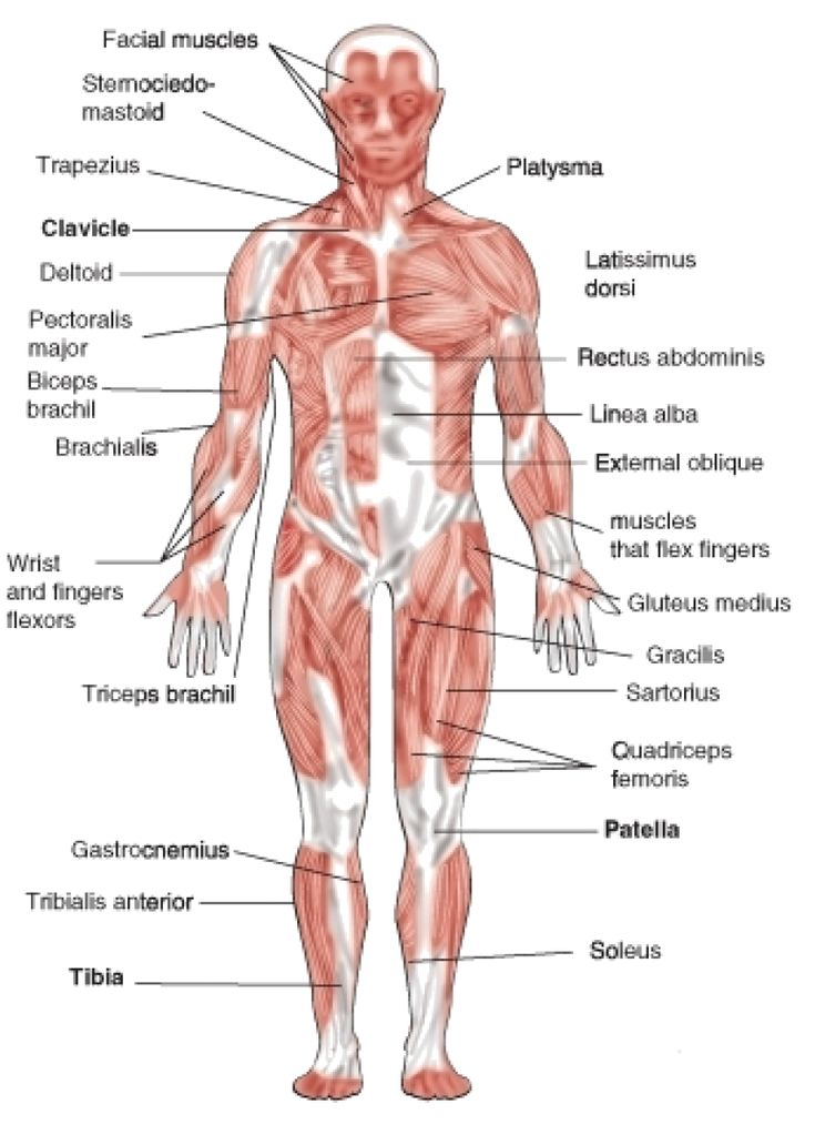 Best  Muscular System For Kids Ideas On   Human Body