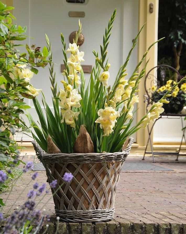 Quiet Corner How To Plant And Grow Gladiolus In Pots
