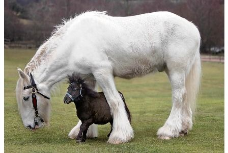 The unlikely lads.... Chico the miniature horse meets his new pal Gulliver the shire horse at the Miniature Pony Centre, Moretonhampstead on Dartmoor