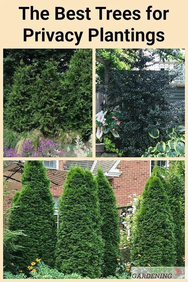 c2d622127c951f8b4f901610550f7961 - Best Screening Trees For Small Gardens