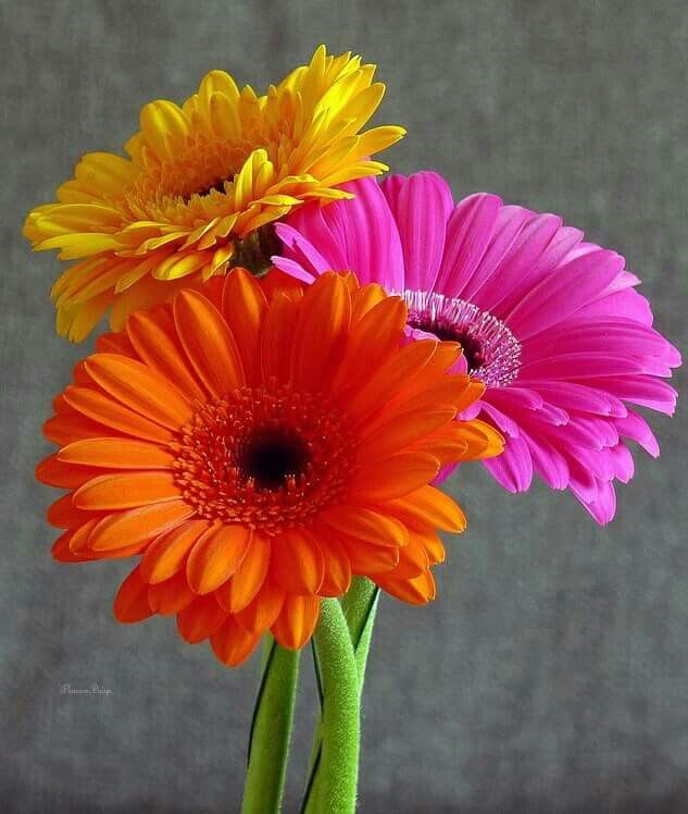 Gerbera symbolizes beauty, innocence and purity. Oh, that's why I was atracted by that flower. Just like me