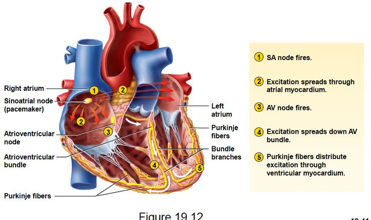 16 best Conduction System of the heart images on Pinterest | Nursing ...
